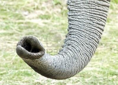 trompaelefante